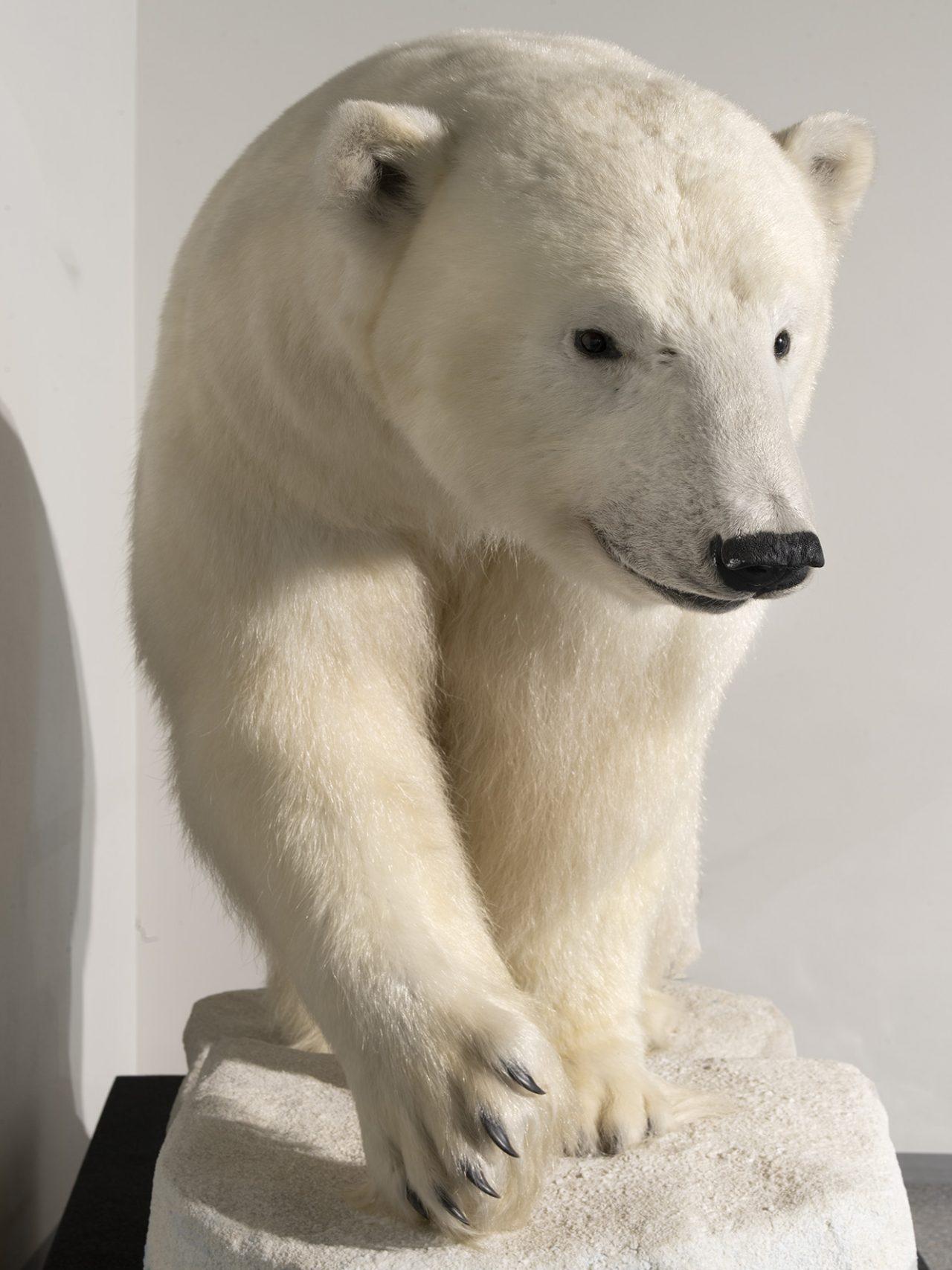 Utstilt isbjørn, Rana museum