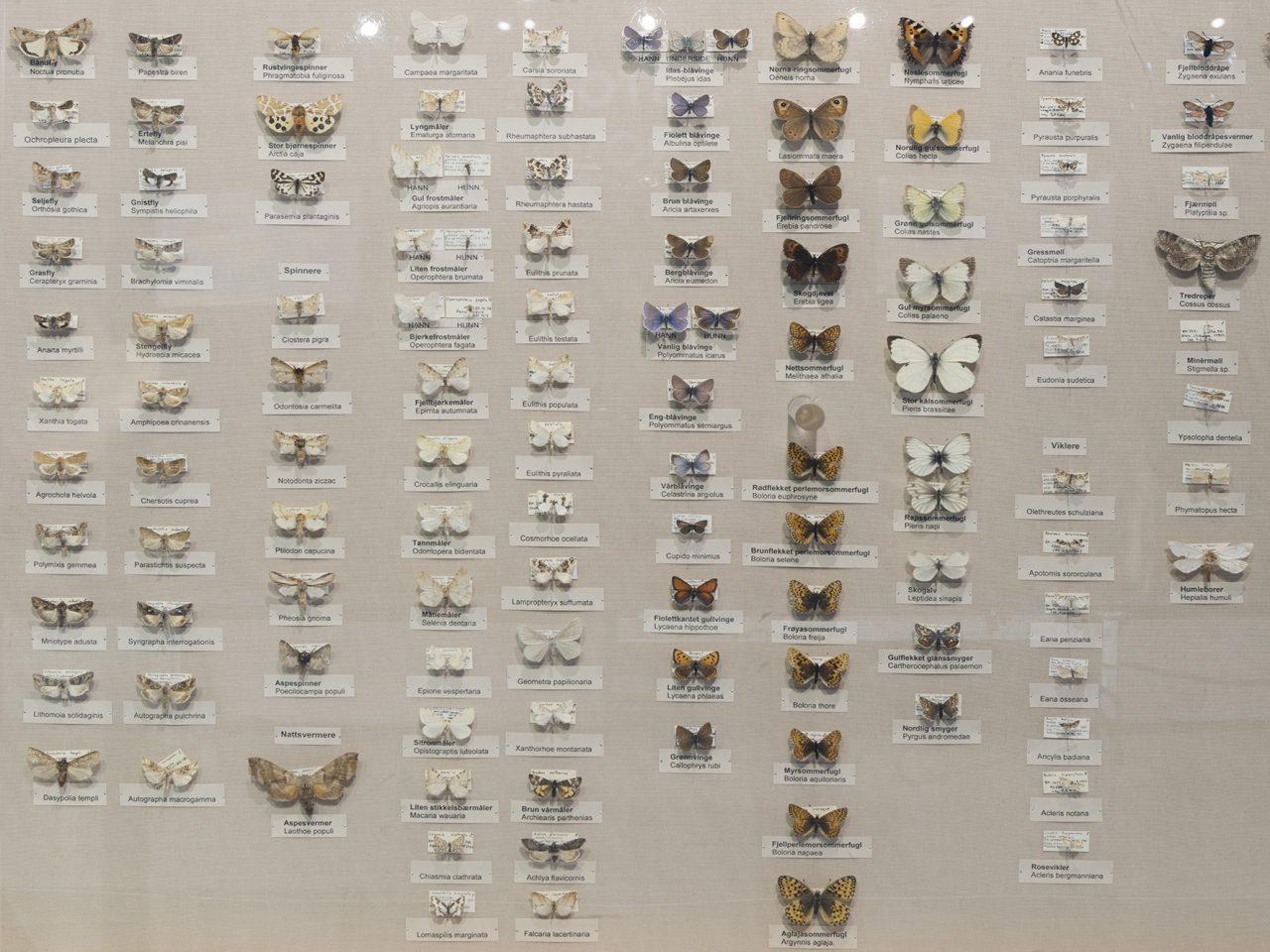 Sommerfugl utstilling, Rana museum
