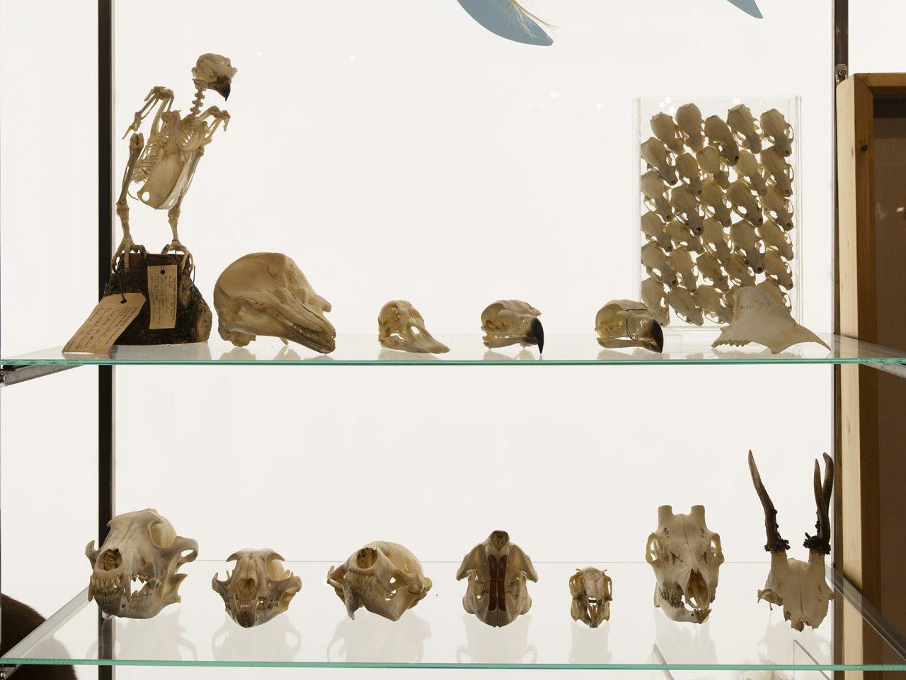Skjellet og dyreskaller utstilt ved Rana museum